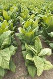 Fält av tobakväxter i lantgårdfältet, avsalugröda Fotografering för Bildbyråer