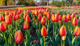 Fält av Tulip Flowers Virginia Royaltyfria Bilder