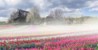 Fält av tulpan i Pirogovo Arkivfoto