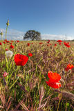 Fält för vårlandskapvallmo Fotografering för Bildbyråer