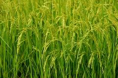 Fält för växande ris och för grönt gräs Royaltyfri Bild