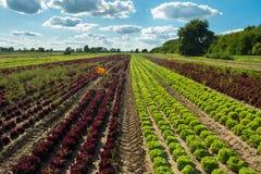 Fält med grönsallat Royaltyfri Fotografi