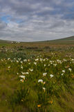 Fält med munkhättaliljor Fotografering för Bildbyråer