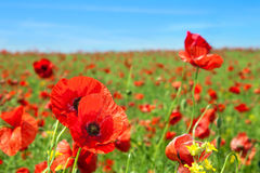 fältet blommar vallmon Fotografering för Bildbyråer