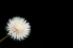 Fluff branco Fotografia de Stock