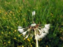 Fluff branco do dente-de-leão no prado, Lituânia foto de stock