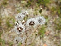 Fluff branco do dente-de-leão no prado, Lituânia fotografia de stock