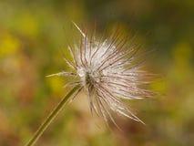 Fluff da flor fotografia de stock