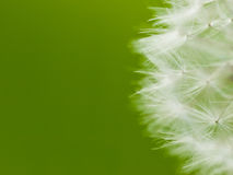 Fluff dandelion. White fluff dandelion on green background Stock Images