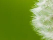 Fluff dandelion Stock Images