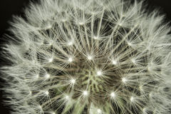 Fluff of a dandelion in close up. Royalty Free Stock Image
