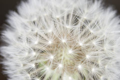 Fluff of a dandelion in close up. Royalty Free Stock Photo