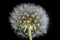 Fluff of a dandelion in close up. Royalty Free Stock Photos