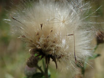 Fluff. Dandelion like fluff in blue and pink background, sharp strands Royalty Free Stock Images