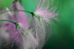 Fluff. Dandelion like fluff in green and pink, sharp strands Royalty Free Stock Image
