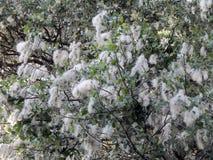 Fluff do álamo branco na flor fotografia de stock royalty free