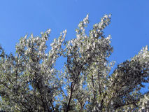 Fluff do álamo branco na flor foto de stock