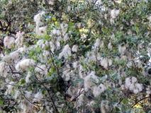 Fluff do álamo branco na flor fotos de stock