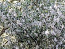 Fluff do álamo branco na flor fotografia de stock