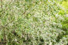 Fluff do álamo na árvore fotos de stock royalty free