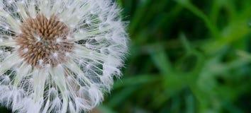 Fluff do dente-de-leão Imagens de Stock