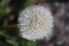 Fluff do dente-de-leão fotografia de stock