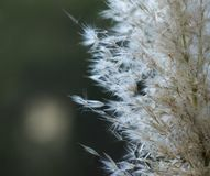 Fluff flower/plant on gray and green background. royalty free stock image