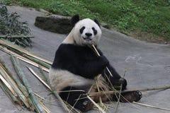 Giant Panda Cub in Dujiangyan Panda base is eating Bamboo. Fluff Giant Panda on the wood Structure Royalty Free Stock Photo