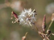 Fluff of hawkweed Stock Photo