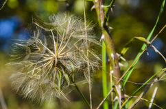 Fluff i dandelion Fotografia Stock