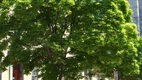 Fluff latanie w powietrzu Drzewo zdjęcie wideo