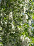 Fluff of poplar tree. Fluff with seeds of the tree on poplar crown Stock Image