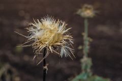 Downy thistle Royalty Free Stock Images