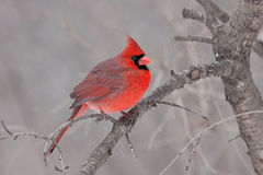 Fluffad kardinal Arkivfoton