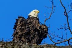 A Fluffed Bald Eagle Stock Image