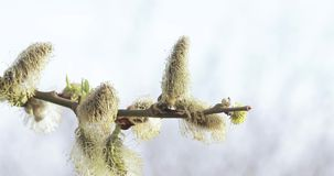 Pussy willow full of pollen. Fluffed and full of pollen willow flowers stock video footage