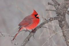 Fluffed Kardinal Stockfotos