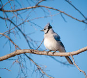 Fluffed up Blue Jay, Cyanocitta cristata. In a Persimmon tree against clear blue winter sky Royalty Free Stock Photo