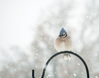 Fluffed up Blue Jay, Cyanocitta cristata Royalty Free Stock Photography