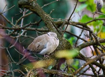 Fluffed up city dove in bare tree. A German city dove sleepy in a tree at a cold winters day Royalty Free Stock Photo