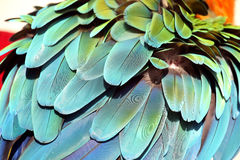 Fluffed up feathers. Fluffed up back feathers on a beautiful scarlet macaw stock photos