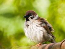 A male sparrow shot with an old mirror lens. A fluffed up male sparrow shot with an old mirror lens Royalty Free Stock Photos