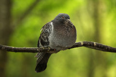 Fluffed up pigeon. A fluffed up pigeon sat on a branch against bright green foliage Royalty Free Stock Image