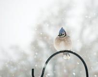 Fluffed vers le haut de Jay bleu, cristata de Cyanocitta Photographie stock libre de droits