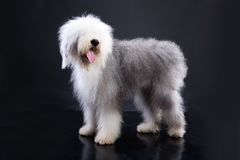 Fluffi Dog Royalty Free Stock Images