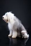 Fluffi Dogs Stock Photography