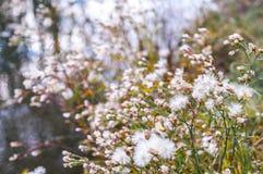 Fluffies των άγριων σπόρων μαρουλιού Στοκ Εικόνα