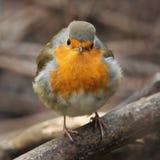 Fluffig är en rolig fågel, den europeiska rödhaken Royaltyfri Fotografi