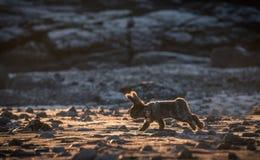 Fluffig angora- kanin Arkivfoto