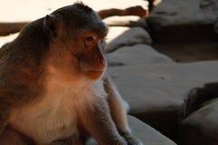 Fluffig apa med ett mycket klokt fundersamt uttryck på hans framsida Eftertänksamt djur Bröder i åtanke royaltyfri bild